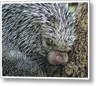 Metal Print featuring the photograph Slumbering Porcupine  by Yvonne Emerson AKA RavenSoul