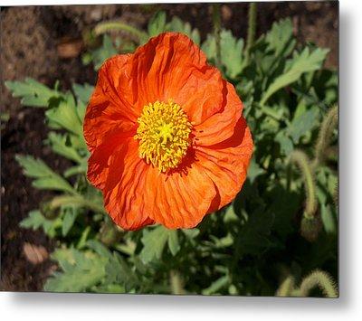 Small Orange Poppy Metal Print