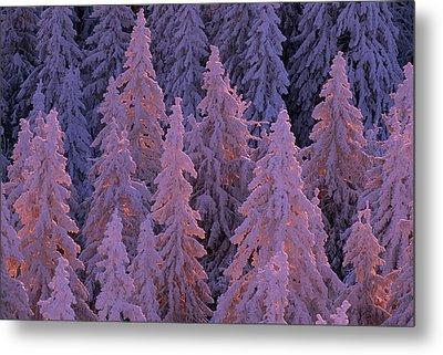 Snow Blanketed Fir Trees In Germanys Metal Print by Norbert Rosing