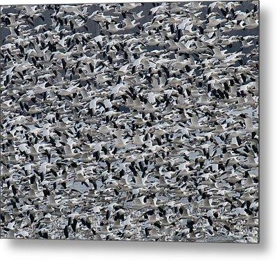 Snow Geese Takeoff Metal Print