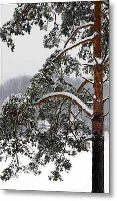 Metal Print featuring the photograph Snow Pine by Michelle Joseph-Long