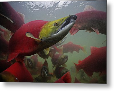 Sockeye Salmon Find Their Way Metal Print by Michael Melford