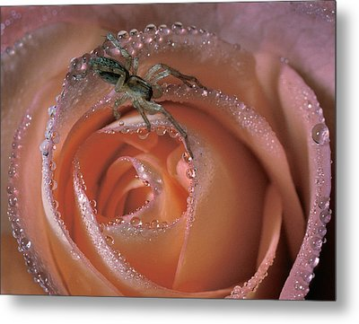 Spider On Rose Metal Print