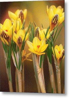 Spring Crocus Metal Print by Anne Gordon