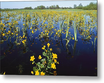 Spring Flood Plains With Wildflowers Metal Print by Norbert Rosing