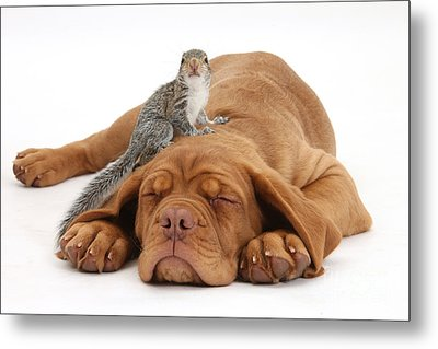 Squirrel And Puppy Metal Print by Mark Taylor