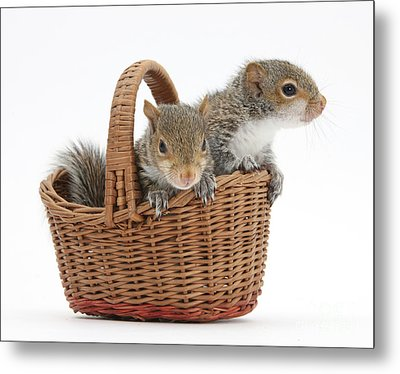 Squirrels In A Basket Metal Print by Mark Taylor