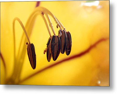 Study Of A Golden Cup Flower 7 Metal Print by Jennifer Bright