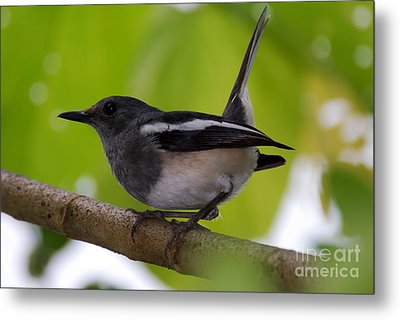 Metal Print featuring the photograph Study Of A Magpie-robin by Fotosas Photography