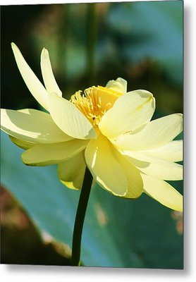 Stunning Water Lily Metal Print by Bruce Bley