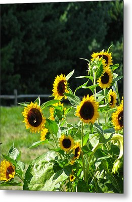 Sunflower Patch Metal Print by Debra     Vatalaro