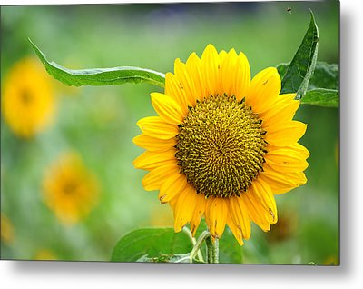 Sunflower Metal Print by Yew Kwang