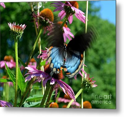 Swallowtail In Motion Metal Print by Sue Stefanowicz
