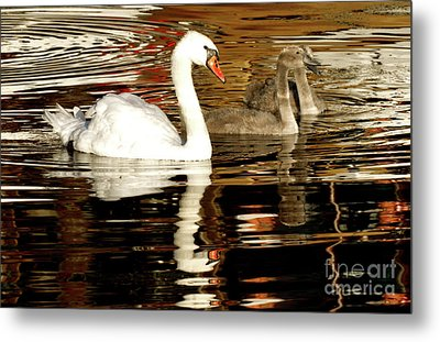 Metal Print featuring the photograph Swan Family In Evening by Charles Lupica