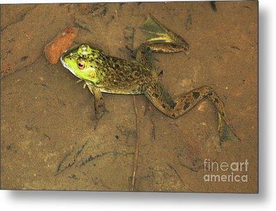 Swimming Frog Metal Print by Nick Gustafson