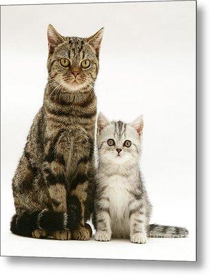 Tabby Cat And Kitten Metal Print