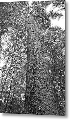 Metal Print featuring the photograph Tall Tree With Sunshine by Susan Leggett