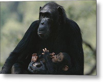 The Chimpanzee Rafiki With Her Twins Metal Print by Michael Nichols