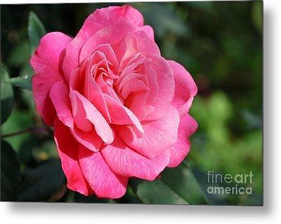 Metal Print featuring the photograph The Pink Rose by Fotosas Photography