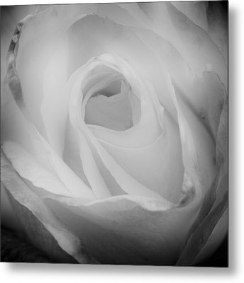 The Princess Diana Rose IIi Metal Print by David Patterson