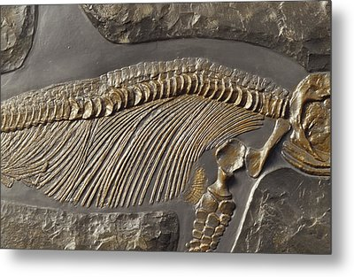 The Ribs And Spine Of Ichthyosaur Metal Print by Jason Edwards