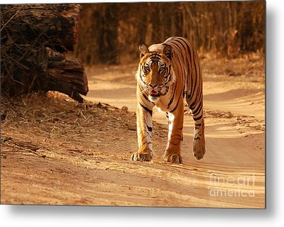 The Royal Bengal Tiger Metal Print by Fotosas Photography