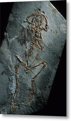 This 124 Million Year Old Frog Fossil Metal Print by O. Louis Mazzatenta