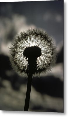 Thoreau Called A Dandelion A Complete Metal Print by Farrell Grehan