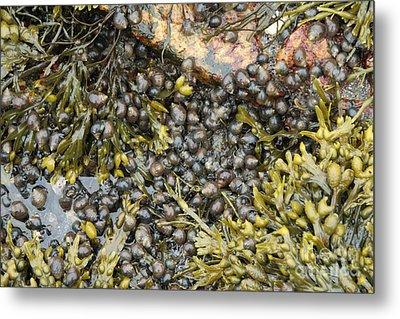 Tidal Pool With Rockweed Metal Print by Ted Kinsman