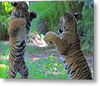 Tiger Cubs Boxing Metal Print