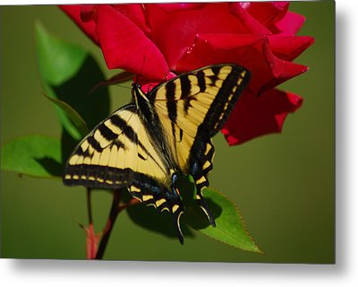 Tiger Swallowtail On A Red Rose Metal Print