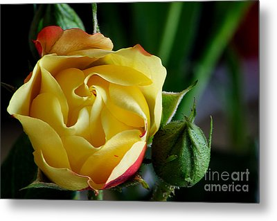 Tiny Rose Metal Print by Adrian LaRoque