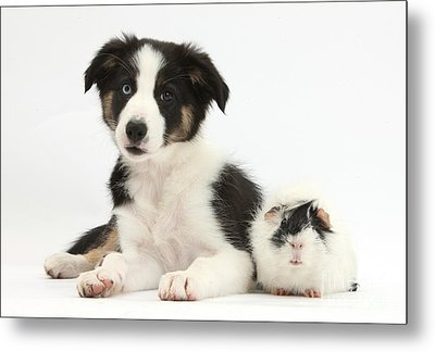 Tricolor Border Collie Pup And Guinea Metal Print by Mark Taylor