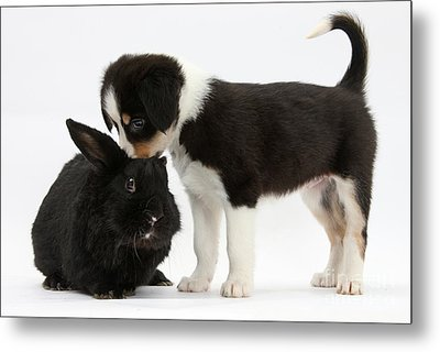 Tricolor Border Collie Pup With Black Metal Print by Mark Taylor