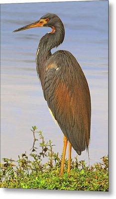 Tricolor Heron Metal Print by Dave Mills