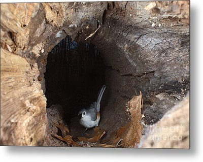 Tufted Titmouse In A Log Metal Print by Ted Kinsman