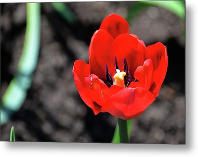 Metal Print featuring the photograph Tulips Blooming by Pravine Chester