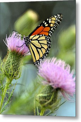 Twin Thistle Butterfly Metal Print by Marty Koch