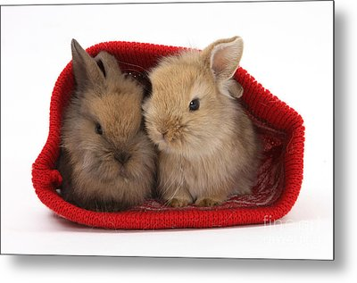 Two Baby Lionhead-cross Rabbits Metal Print by Mark Taylor
