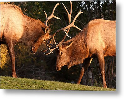 Two Bull Elk Sparring 91 Metal Print by James BO  Insogna