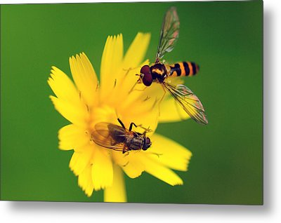 Two Flies Pollinate A Yellow Flower Metal Print by Darlyne A. Murawski