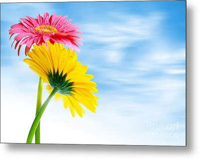 Two Gerberas Metal Print by Carlos Caetano