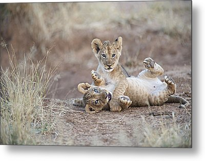 Two Male Lion Cubs Wrestle On The Trail Metal Print by Mark C. Ross