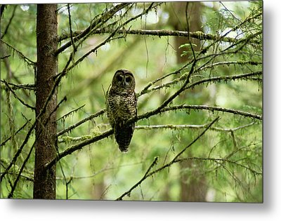 View Of A Northern Spotted Owl Metal Print by James P. Blair