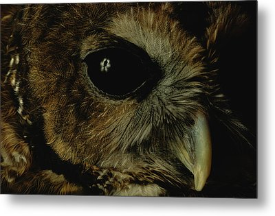 View Of A Northern Spotted Owl Strix Metal Print