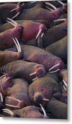 Walruses On The Beach Metal Print by Joel Sartore