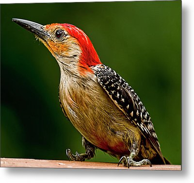 Wary Red-belly Metal Print by Michael Putnam
