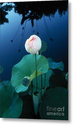 Water Lily Metal Print by Vilas Malankar