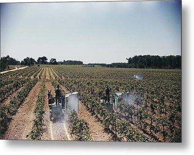 Welchs Grape Vineyard Covers 250 Acres Metal Print by Willard Culver
