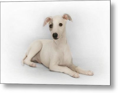 Whippet Puppy Metal Print by John Clum
